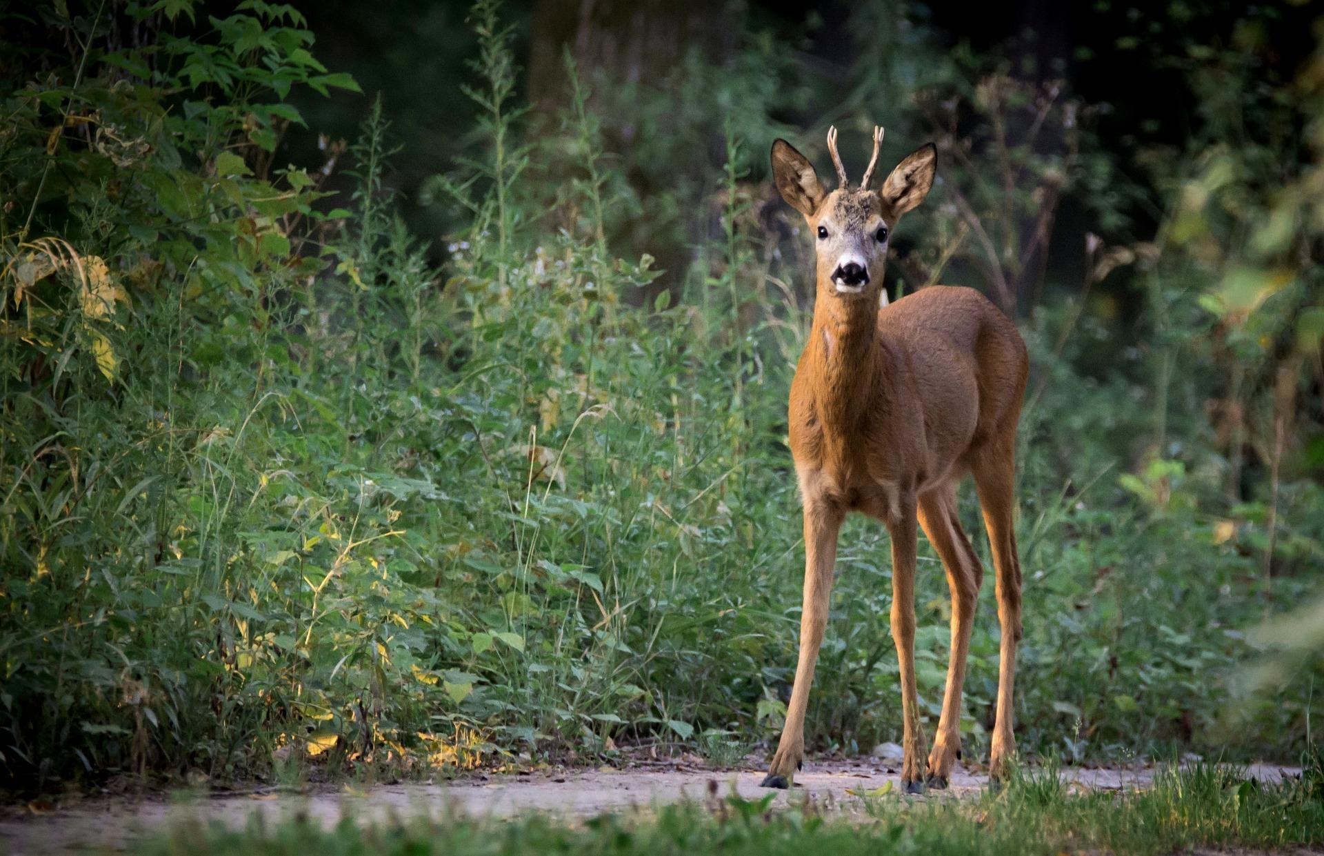 roe-deer-880581_1920
